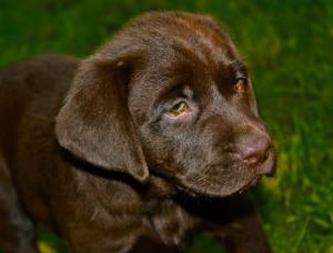 Labrador Welpe schokofarben